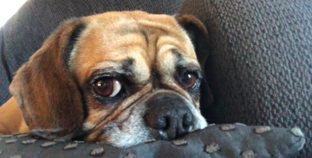 Mallory Kirchhoff's puggle, Stella, cuddles up.